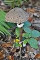 Macrolepiota olivascens Singer & Moser 274147.jpg