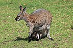 Macropus rufogriseus with joey in pouch grazing.jpg