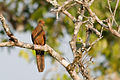 Macropygia-ruficeps-little-cuckoo-dove.jpg