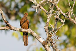 Macropygia-ruficeps-little-cuckoo-dove.jpg
