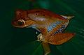 Madagascar Bright-eyed Frog (Boophis madagascariensis) (10313713423).jpg