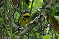 Magnolia Warlber (male) Sabine Woods TX 2018-04-22 08-29-01 (41991960671).jpg