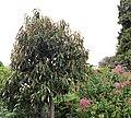 Magnolia doltsopa IMG 1956.jpg