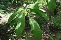 Magnolia tripetala 2zz.jpg