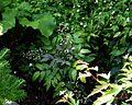 Mahonia pallida - Flickr - peganum.jpg