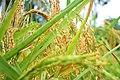 Makarato Rice.jpg