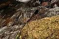 Malabar Torrent Dart from Valparai Anamalai hills DSC 2874.JPG