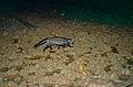 Malay Civet (Viverra tangalunga) (14427339168).jpg