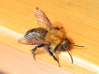 Phoresis - Male Bombus hypnorum male with phoretic mites, Botevgrad, Bulgaria Wikimedia Commons