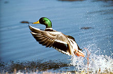 a male mallard takes flight from the water