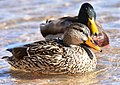 Mallard on Seedskadee National Wildlife Refuge (26571451558).jpg