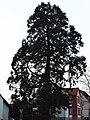 Mammutbaum in Schlangen.jpg