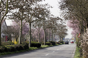 Bensheim - Blossoming almond trees on Wormser Straße on 16 March 2007