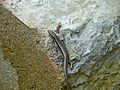 Mangrove Skink (Emoia atrocostata) (15184280234).jpg
