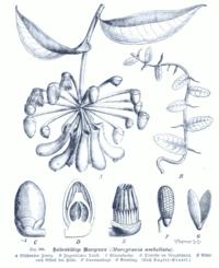 Marcgravia umbellata GS388.png