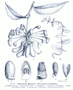 Marcgravia umbellata GS388.png