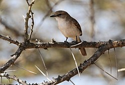 Marico flycatcher, Bradornis mariquensis at Polokwane Nature Reserve, Polokwane, Limpopo, South Africa (14655820516).jpg