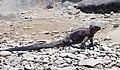Marine Iguana (46974303034).jpg