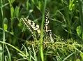 Mariposa desovando - butterfly laying eggs (249921204).jpg