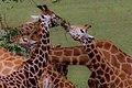 MarwellGiraffes.jpg