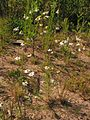 Matricaria chamomilla20140712 031.jpg