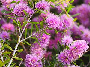 esperance latin singles West australian old man's beard  single bloom diameter: small  there are two species of clematis in the esperance region,.