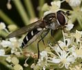 Melangyna umbellatarum (female) - Flickr - S. Rae (2).jpg