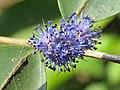 Memecylon umbellatum flowers at Peravoor (39).jpg