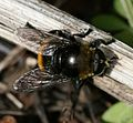 Merodon equestris var. equestris - Large Narcissus Fly (female) - Flickr - S. Rae.jpg
