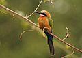 Merops bullockoides (Meropidae) (White-fronted Bee-eater) - (adult), Kruger National Park, South Africa.jpg
