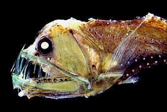 Deep sea fish - The Sloane's viperfish can make nightly migrations from bathypelagic depths to near surface waters.