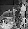 Met sardines gevulde visnetten worden binnen boord leeggeschud, Bestanddeelnr 255-2881.jpg