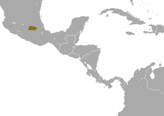 Mexican long-tailed shrew Species of mammal