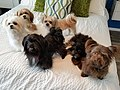 Mi-ki dog group various colors.jpg