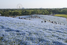 Miharashino Oka (Hitachi Seaside Park) 17.jpg
