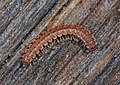 Millipede, Leesylvania State Park, Woodbridge, Virginia (49247536046).jpg