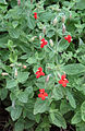 Mimulus cardinalis Scarlet monkeyflower tall clump.jpg
