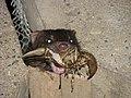 Mink with crayfish at Wascana Lake in Regina Saskatchewan.jpg