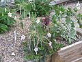 Mirabilis longiflora - Flickr - peganum.jpg