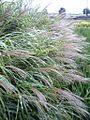Miscanthus sinensis variegation flower leaf jp.jpg