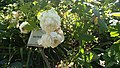 Mme Plantier roses.jpg