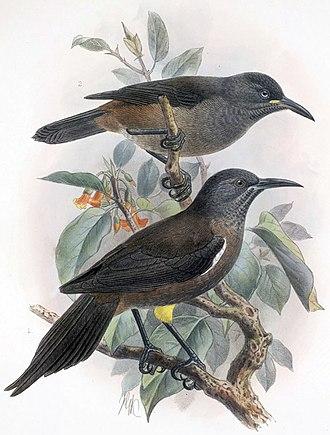 Kauaʻi ʻōʻō - Adult and juvenile Moho braccatus