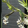 Monarch Butterfly Caterpillars.JPG