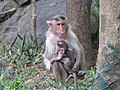 Monkeys at Bannerghatta National Park 4-24-2011 1-11-10 PM.JPG