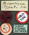 Monomorium pharaonis casent0102682 label 1.jpg