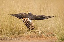 Montagu's harrier (Circus pygargus) In flight.jpg