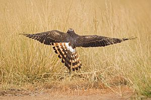 Montagu's harrier - Montagu's harrier (Circus pygargus) In flight from Tal Chappar