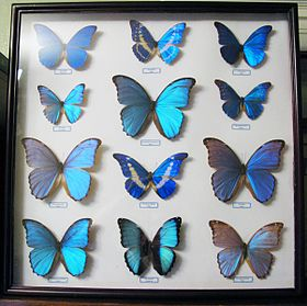 Morpho collection.JPG