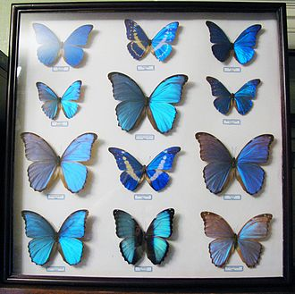 Morphinae - Image: Morpho collection