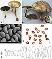 Morphology of Agaricus angusticystidiatus - MycoKeys 40.jpg